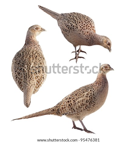 Set Pheasant isolated on white background , Phasianus colchicus (female)