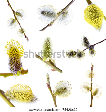 Set Pussy-willow branch, isolated on white. easter - stock photo