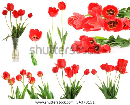 set red tulips, on a white background, is isolated.