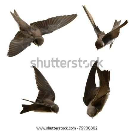 Set Sand Martin, swallow in flight  isolated on white background, riparia riparia (birds set 4) - stock photo
