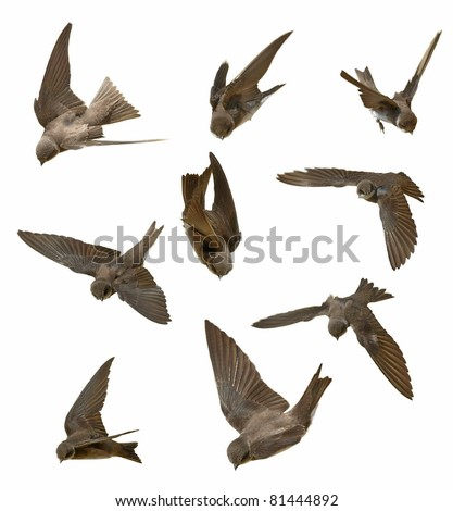 set  swallow in flight isolated on white background - stock photo