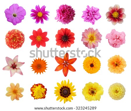 Set twenty flowers: peony, lily, calendula, dahlia, petunia, marigold, purslane (rose moss), coneflower, gazania isolated on white background - stock photo