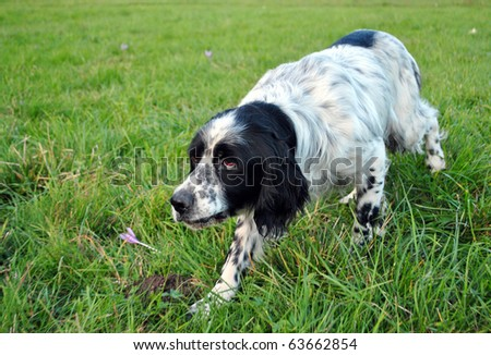 setter dog pointing in the meadow - stock photo