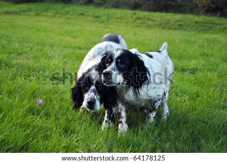 setter dog pointing to hunt pheasant