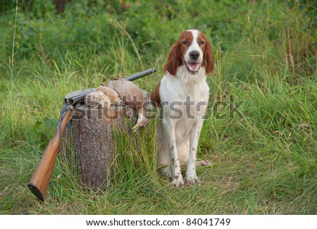 setter sitting next trophies and rifle on grass - stock photo