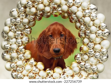 Setters puppy, xmas, horizontal portrait, outdoors