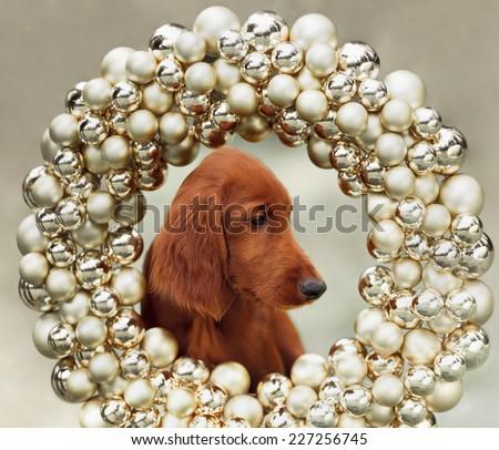 Setters puppy, xmas, horizontal portrait, outdoors - stock photo