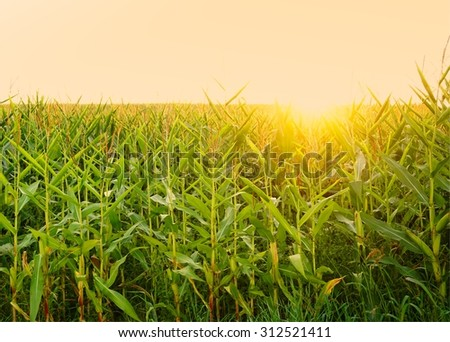 Setting of the sun at a field of maize - stock photo