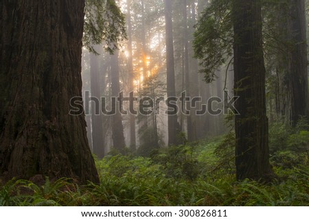 Setting sun through California ancient redwood grove.