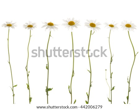 seven beautiful white flowers field of daisies, with white soft petals and a bright yellow center, on a thin green stems on a white background isolation - stock photo