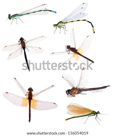 seven dragonflies isolated on white background - stock photo