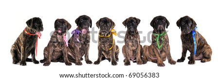 Seven 3 months old puppies of bullmastiff in front of the white background - stock photo