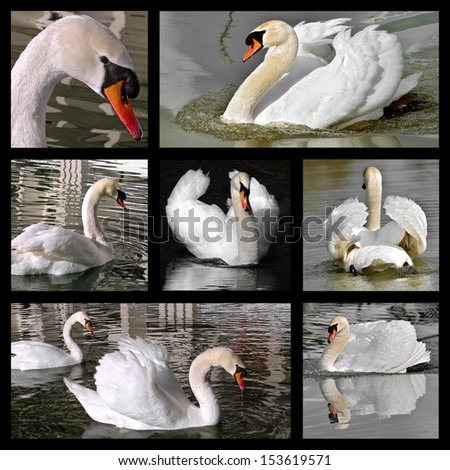 Seven photos mosaic of mute swans (Cygnus olor) - stock photo