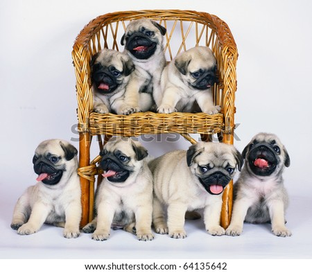 Seven puppies of breed a pug. - stock photo