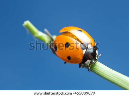 Seven spot ladybug, Coccinella septempunctata, copyspace in the photo