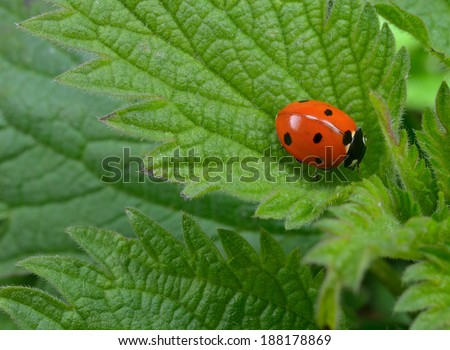 seven spotted ladybird - stock photo