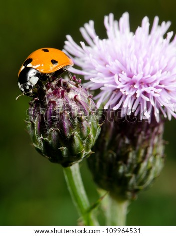 seven spotted ladybird on thistle, vertical macro - stock photo