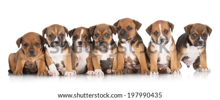 seven staffordshire bull terrier puppies together - stock photo
