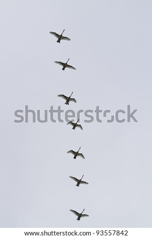 Seven swans flying in formation - stock photo