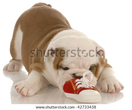 seven week english bulldog puppy chewing on a small shoe - stock photo
