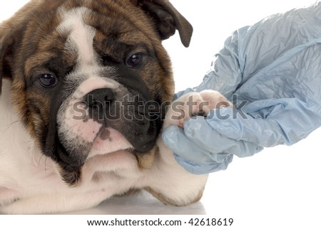 seven week old english bulldog puppy going for vet check-up