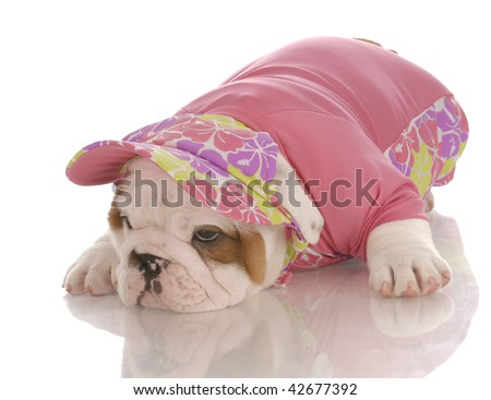 seven week old english bulldog puppy wearing matching shirt and hat - stock photo
