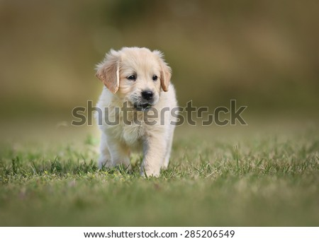 Seven week old golden retriever puppy outdoors on a sunny day. - stock photo