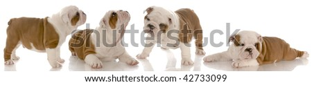 seven week old red and white english bulldog puppy collection - stock photo