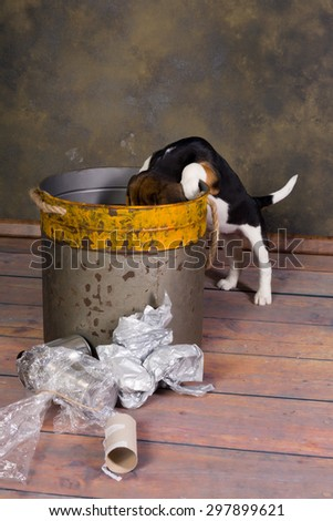 Seven weeks old adorable little beagle puppy exploring a garbage can - stock photo