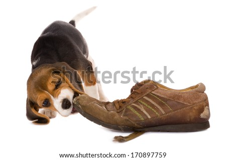 Seven weeks old cute little beagle puppy chewing on an old shoe - stock photo