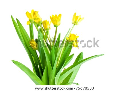 Seven Yellow spring flowers with green leaves Isolated Located cascade on White - stock photo