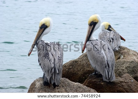 Several adult brown pelicans on the shore - stock photo