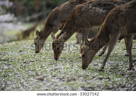 Several Asian deer during cherry blossom season, Japan.