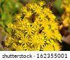 Several bees and insects collecting delicious nectar of pollen on a large cluster of little yellow flowers of aeonium undulatum, spring wildflowers of canary islands - stock photo