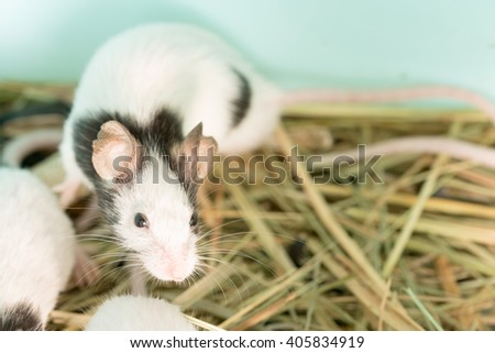 Several black and white domestic rats in the straw - stock photo