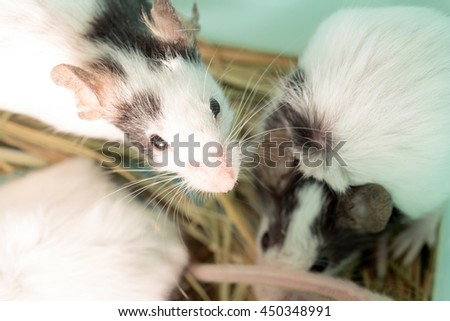 Several black and white domestic rats in the straw