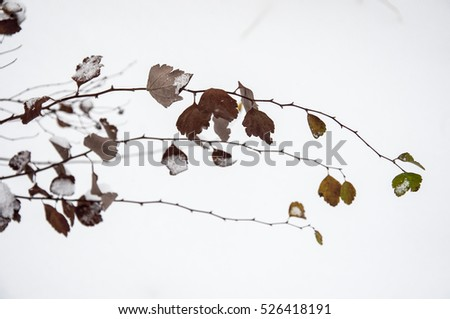 Several branches of a bush close up with small leaves covered with snow on white background