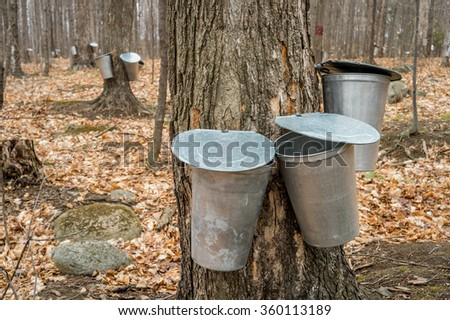 several buckets used to collect sap of maple trees to produce maple syrup in Quebec. - stock photo