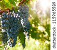 Several bunches of ripe grapes on the vine (selective focus) - stock photo