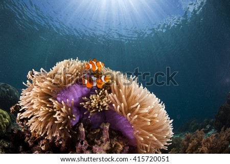 Several clownfish in their nest - a colorful anemony on a tropical coral reef - stock photo