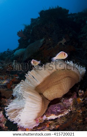Several clownfish in their nest - a white anemony on a tropical coral reef - stock photo