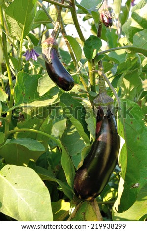 several different size violet eggplants and flower on the bush - stock photo