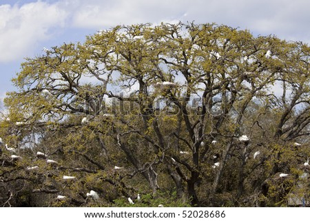 Several dozen Great Egrets sitting in nests in a live oak tree during nesting season in St. Augustine, Florida - stock photo