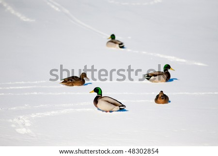 Several ducks basking in the sun on the snow - stock photo