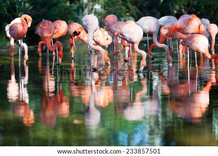 Several flamingos standing in water of pond
