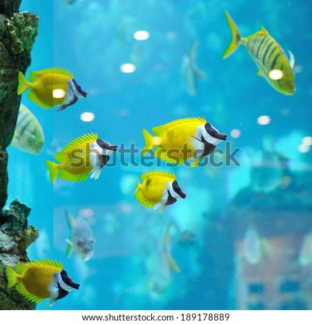 several foxface fish in blue water of aquarium - stock photo