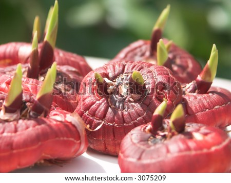 Several gladiolus flower bulbs laying in a bright spring sun with a focus on one of them - stock photo