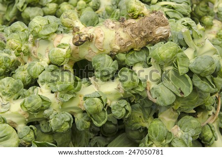 several green brussel sprout stalks at the farmers market - stock photo