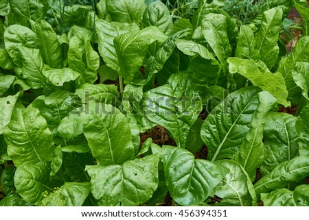 Several heads of Swiss chard - stock photo