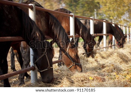Several horses in the paddock and bent over eating dry grass - stock photo